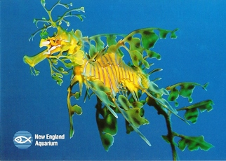 34X Postcard Of Leafy Seadragon (Phycodurus eques) New England A