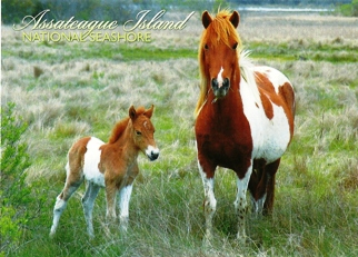 Postcard Wild Horses of Assateague Island National Seashore.