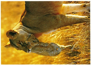 Postcard Of Lion and Cub (Panthera leo) Exotic Wildlife