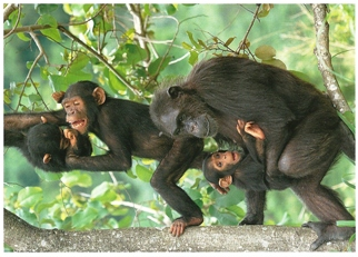 23x Postcard Of Chimpanzee (Pan troglodytes) Exotic Wildlife