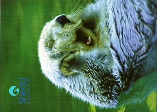 33X Postcard Of A Sea Otter SHEDD AQUARIUM