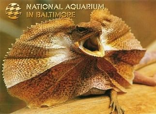 Postcard Of Frilled Neck Lizard NATIONAL AQUARIUM IN BALTIMORE.