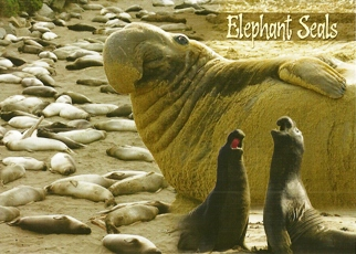 25 Postcards ( OF The Same Design) Postcard Of Elephant Seals