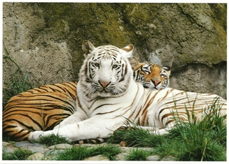 25x Postcard Of White tiger and orange tiger (Panthera tigris) E