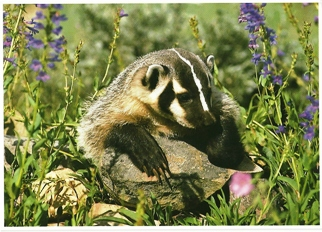 Postcard Of A Badger (Taxidea taxus) North American Wildlife