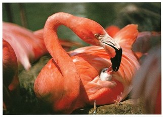 23x Postcard Of Flamingo (Phoenicopterus ruber) Exotic Wildlife