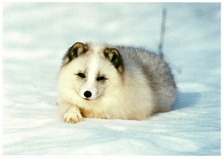20x Postcard Of A Arctic Fox (Alopex Iagopus) North America Wild