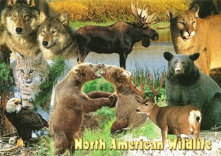 Postcard of North American Wildlife