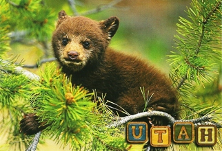 12 (1 Dozen OF The Same Design) POSTCARD OF BLACK BEAR CUB UTAH