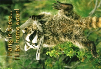 12 (1 Dozen OF The Same Design) POSTCARD RACCOON Hang in there..