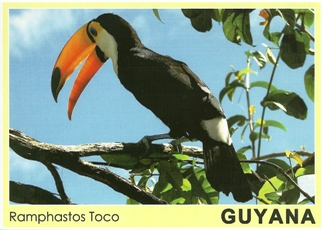 Postcard of a Ramphastos Toco Guyana.